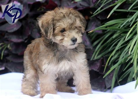 havapoo puppies also hypoallergenic and so cute