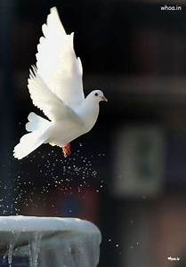 Flying White Pigeon Image