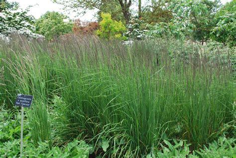 Calamagrostis Karl Foerster. Grasses For Sale Uk