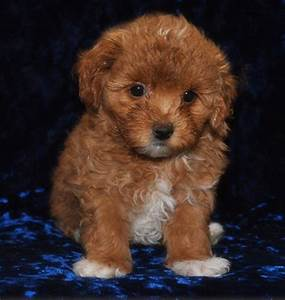 brown maltese poodle puppies | Zoe Fans Blog | Cute Baby ...