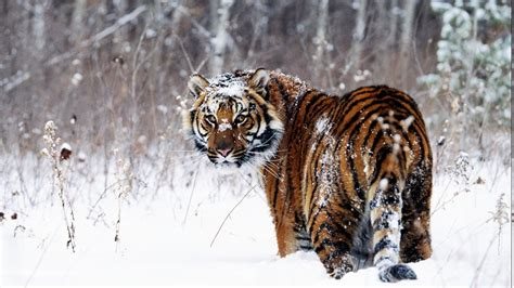 Hd Wallpapers Animals 1366x768 - animals tiger snow wallpapers hd desktop and mobile
