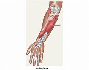 Deep Flexors Of Anterior Forearm