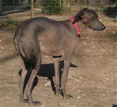 hairless khala dog breed information  pictures