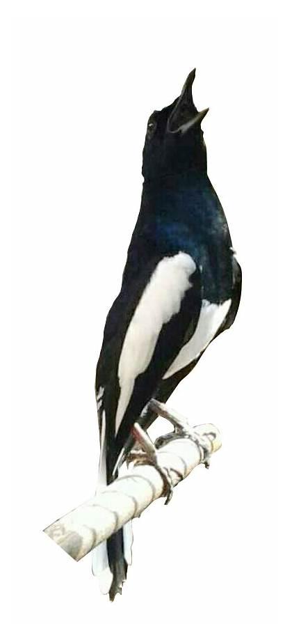 Burung Gambar Kacer Koleksi Terkini Perpustakaan Sumber