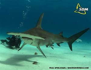 Weblog - Shark Diver Magazine Blog - Tiger Shark Diving ...