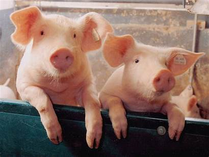 Pig Wallpapers Pigs Piggies Cave