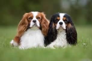 No Shedding Dog Breed by Cavalier King Charles Spaniel Dog Breed Information