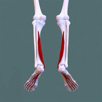 Muscle Flexor Longus Digitorum Animation Below Insertion