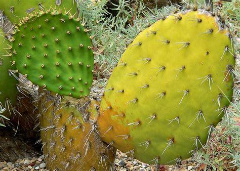 กระบองเพชร [Cactus;แคคตัส] และสวนถาด: แคคตัส พันธุ์ Opuntia oricola