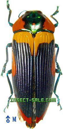 Insect-Sale.com - Calodema mariettae - Calodema-mariettae ...