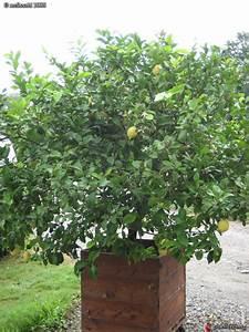 Planter Un Citronnier : culture du citronnier en pot stunning cochenille sur un ~ Melissatoandfro.com Idées de Décoration