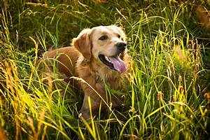 best dog food for golden retrievers our top 5 picks With best dog food for golden retrievers