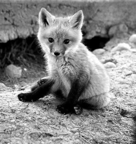 Black and White Baby Fox