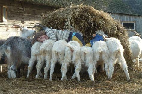 Help on an organic goat farm and cheesery near Riga ...