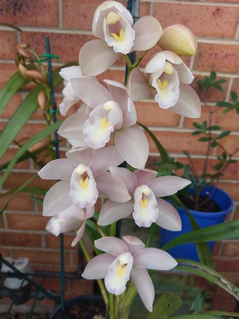 My Cymbidiums :) | Orchids Forum