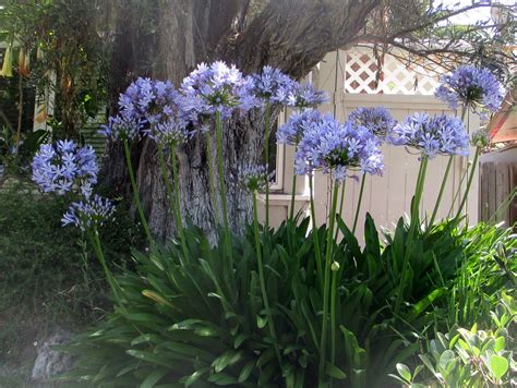 of nile flower lily of the nile flowers so blue nldesignsbythesea