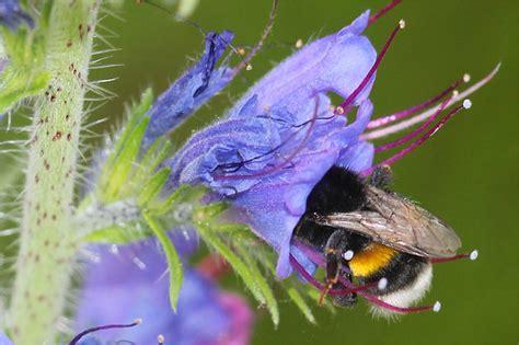 welche pflanzen mö bienen nicht wildblumen f 252 r insekten nabu hamburg