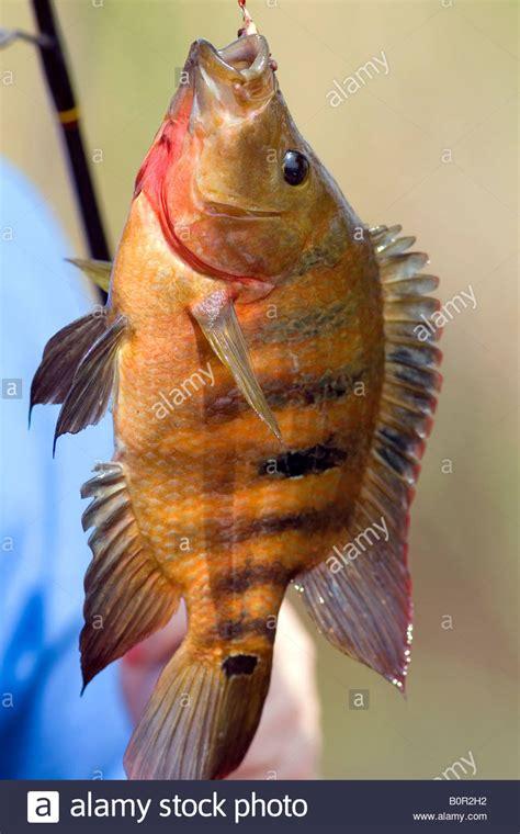 wild oscar fish caught  everglades national park florida