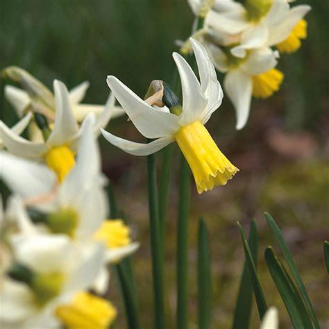 narcissus jenny bulbs   fothergills seeds  plants
