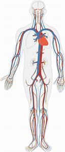 Circulatory System No Labels Clip Art At Clker Com
