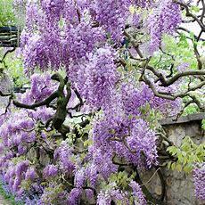 Van Zyverden Wisteria Purple Root Stock (1set)83556