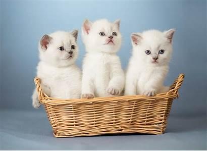Three Wallpapers Cats Cat Kittens Desktop Cave