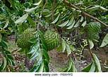 Image result for pictured soursop fruit medicinal plant