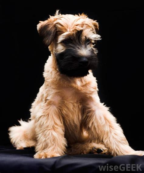 Non Shed Dogs List by Non Shedding Terrier Dogs Breeds Picture