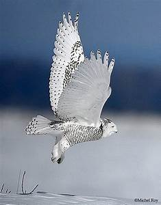 snowy owl | Life is Beautiful! | Pinterest