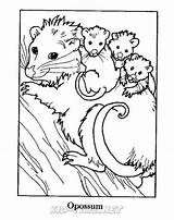 Coloring Opossum Animals Sheets Sheet Places sketch template
