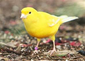 Wild Yellow Canary Bird