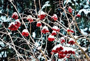 Sträucher Mit Weißen Beeren : rote beeren vom strauch gemeiner schneeball unter wei en schneem tzen winterfotos ~ Whattoseeinmadrid.com Haus und Dekorationen