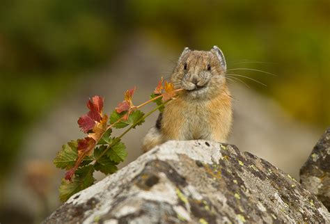 Adorable American Pikas Vanish From A Swath Of California