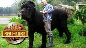 Worlds Biggest Dog | www.pixshark.com - Images Galleries ...