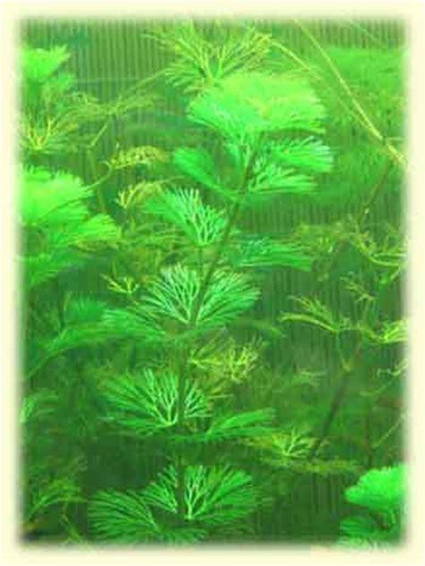 النباتات المائية التي تستعمل فى أحواض الأسماك