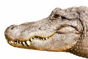 Alligator Head Isolated On White Royalty Free Stock Photos ...
