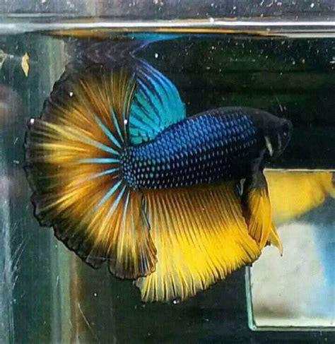 Cara Memelihara Ikan Cupang gambar ikan cupang fancy