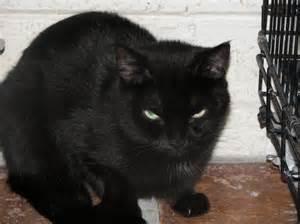 black cat rescue cat galaxy feline friendlies
