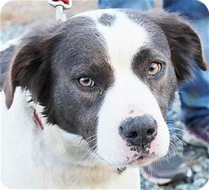 Leila | Adopted Dog | Chapel Hill, NC | Border Collie ...