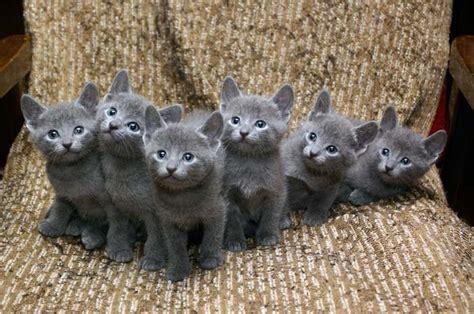 best 25 russian blue kitten ideas on