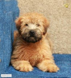 pictures of soft coated wheaten terrier dog breed meetin