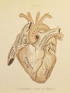 Anatomical Heart  I Love This For A Tattoo  I Love Anatomy