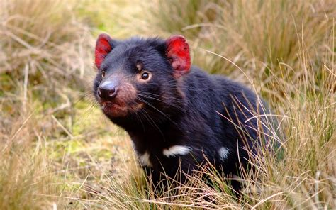 These famously feisty mammals have a coat of coarse brown or black fur and a the tasmanian devil is the world's largest carnivorous marsupial, reaching 30 inches in. Tasmanian Devil Wallpapers (65+ images)