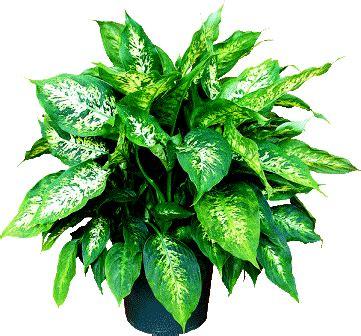 images of plants dieffenbachia plant pictures meanings of dieffenbachia plants