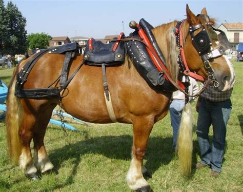 carrozze per cavalli in vendita cavalli da tiro pesante cavalli da tiro pesante