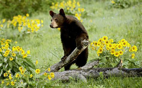 Wildlife Wallpaper Bear