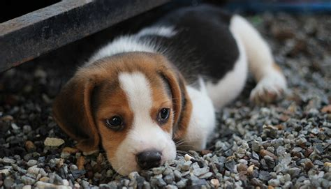 Beagle Price How Much Is This Popular Breed My Dogs Name