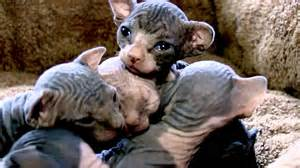 baby hairless cats baby sphynx kittens