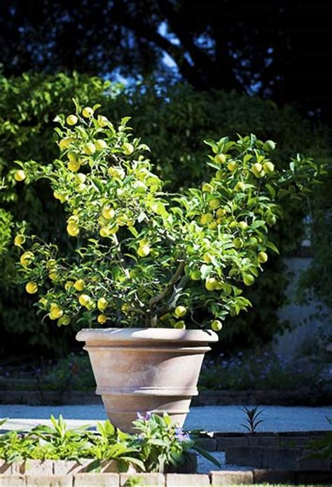 time for the lemon tree to return to the backyard domain