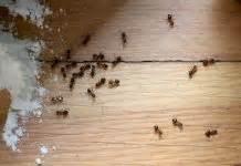 Ameisen Bekämpfen Wohnung : gummibaum ficus elastica pflege anleitung plantopedia ~ Michelbontemps.com Haus und Dekorationen